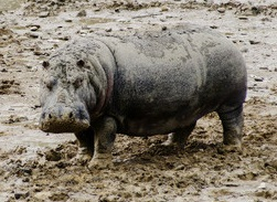 Sonia the Hippo enjoys the mud of the lake at Longleat